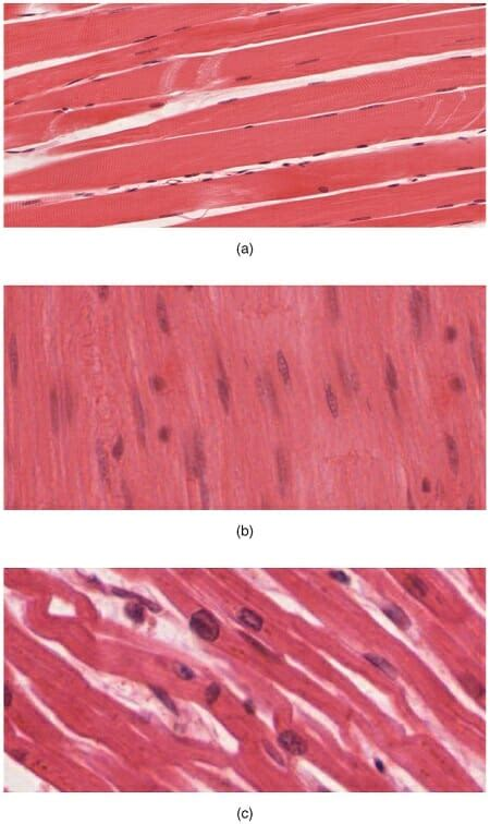 Muscle Tissue: Definition, Function & Types   Biology