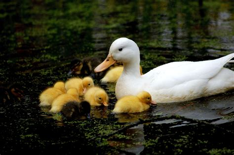 Mom with Baby Duck Swimming   HD Wallpapers